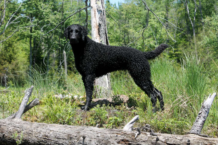 breeder-spotlight-curly-coated-retrievers