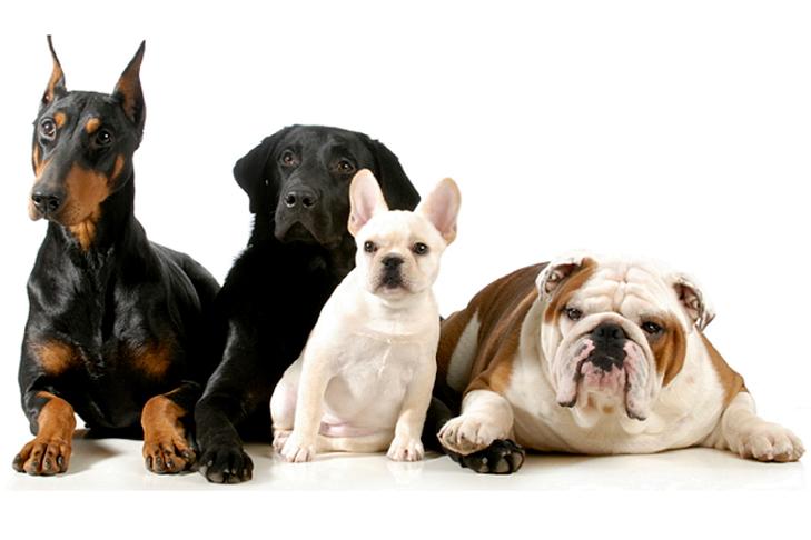 Doberman Pinscher, Black Labrador Retriever, French Bulldog, Bulldog