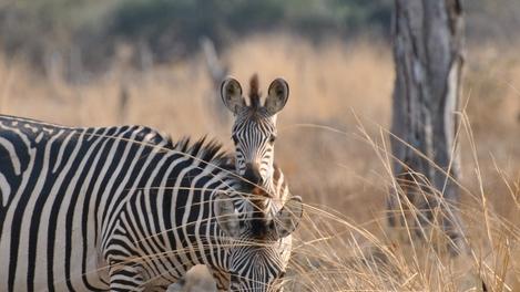 Família de zebras em South Luangwa