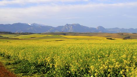 Plantação de Canola em Overberg