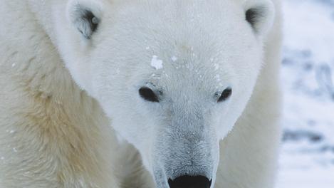 Urso polar - Manitoba
