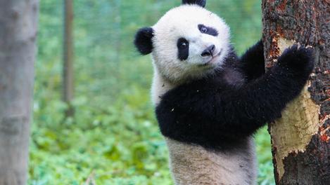 O famoso panda-gigante