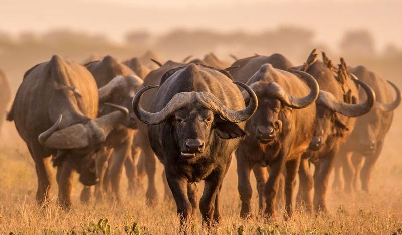 Os búfalos-africanos são comuns, apesar de intimidantes, nos parques nacionais de vida selvagem da África do Sul