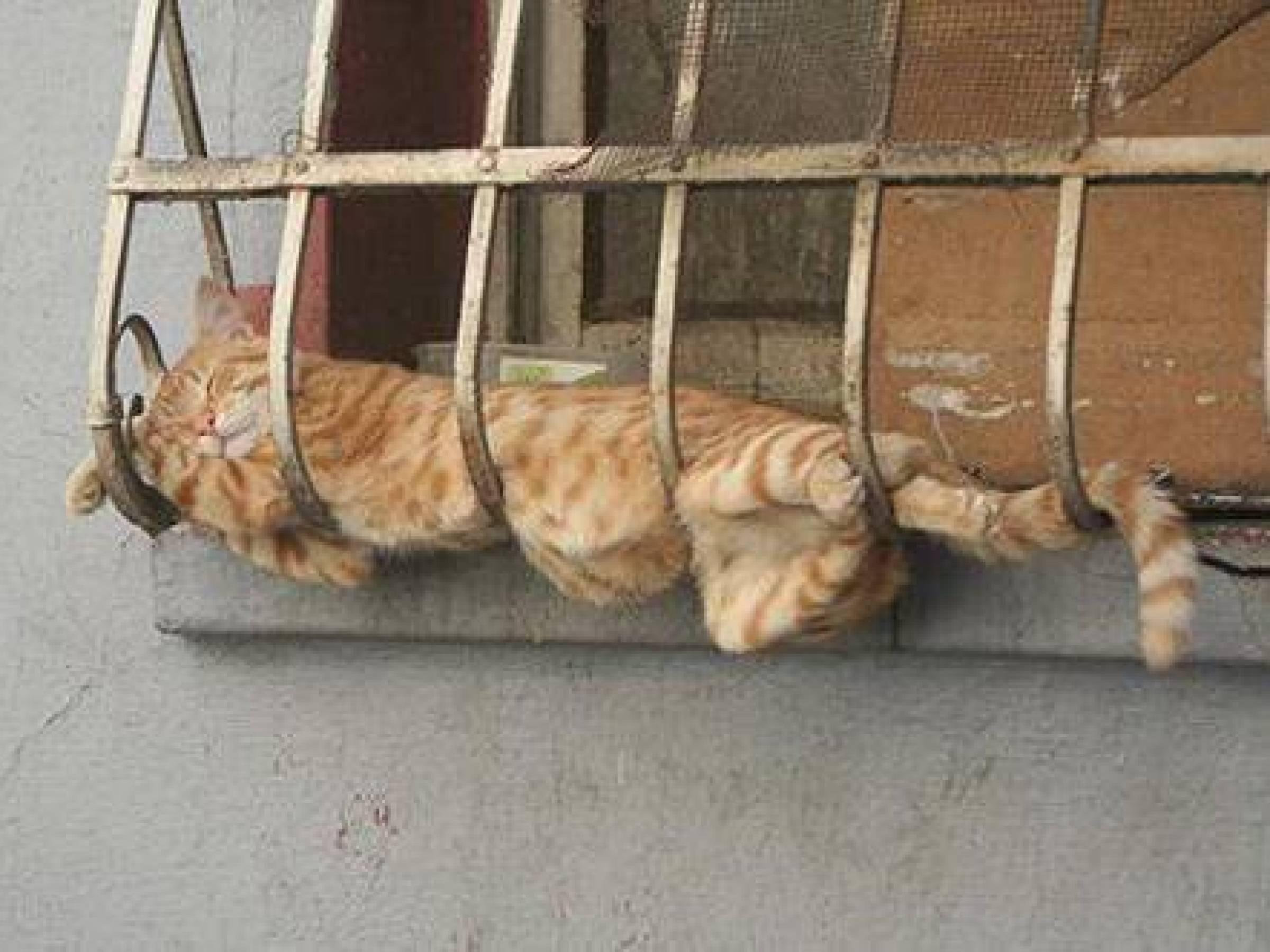 Странные позы спящих кошек. как лег, так и уснул..