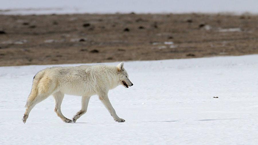 wwolf3