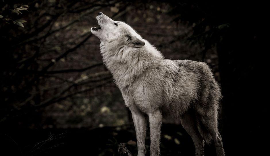 wwolf2