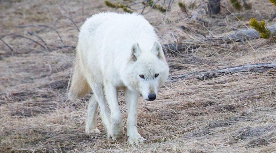 wwolf1
