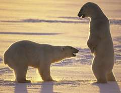 Pollution Weakening Polar Bears Ability to Mate