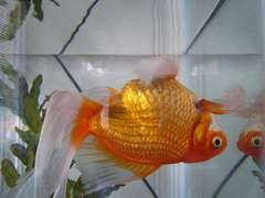 Gold Fish in Water in Zero G