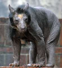 Bear with Alopecia