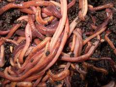 Worm Food Source