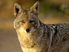 LonestCoyote
