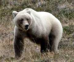 WhiteGrizzly