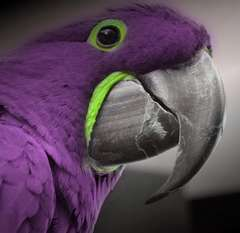 purplemacaw