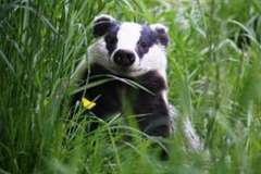 HappyBadger