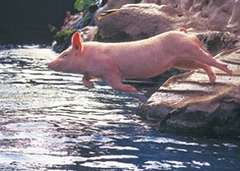 Ralph the Swimming Pig