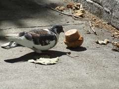 pigeon_muffin