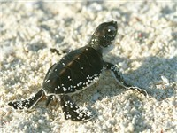 Turtle Hatching on Playa Grande - Tourist Attraction in Playa Grande