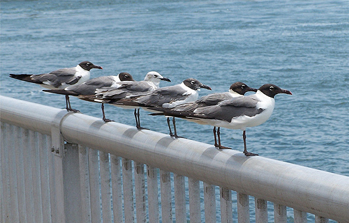 My six &quot;Gull Friends&quot;