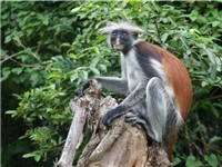 Don't miss the rare Red Colobus Monkeys
