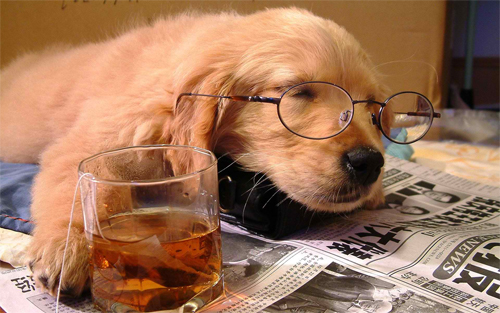 sleeping golden retriever with tea