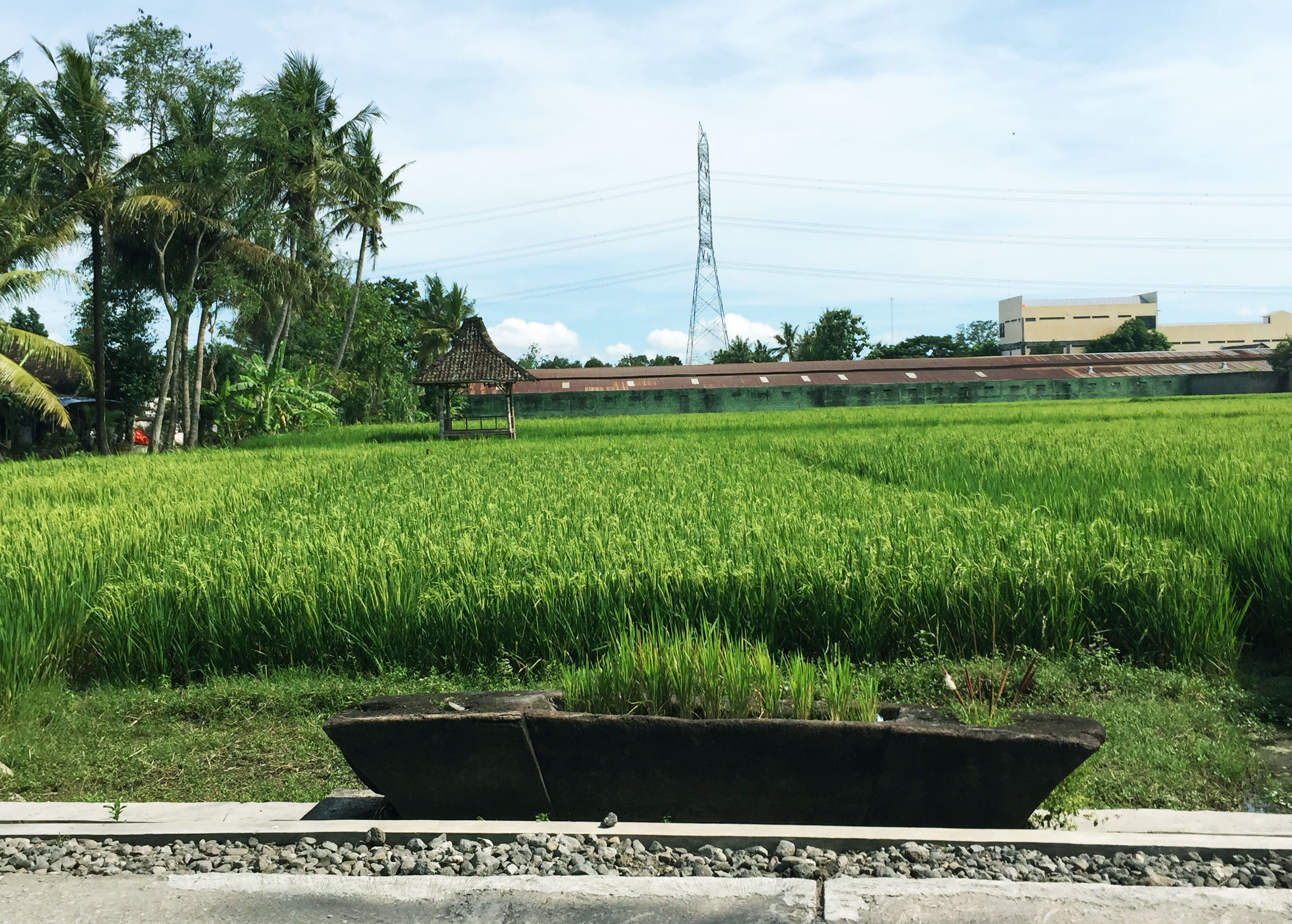 rice field -edited
