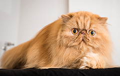 A very worried-looking long-haired orange cat