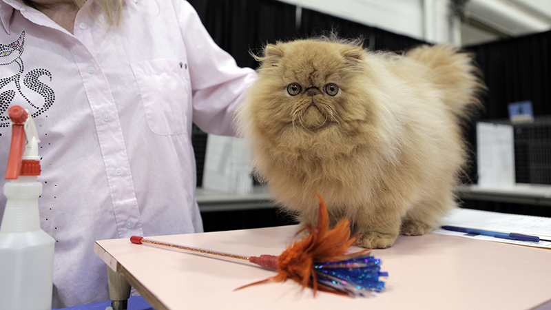 A fluffy golden-furred cat sits on a table and is groomed by a woman.