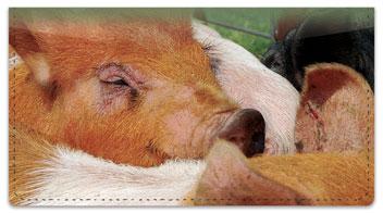 Hog Heaven Checkbook Cover