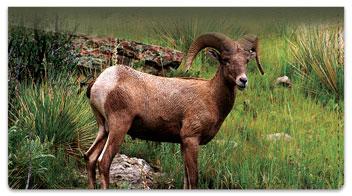 Big Horn Sheep Checkbook Cover