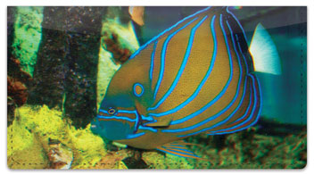 Blue Ring Angelfish Checkbook Cover