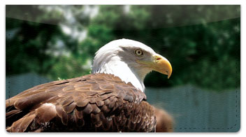 Bald Eagle Checkbook Cover