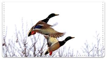 Duck Checkbook Cover