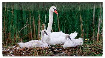 Swan Checkbook Cover