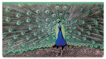 Colorful Peacock Checkbook Cover