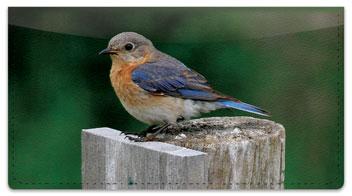Bluebird Checkbook Cover
