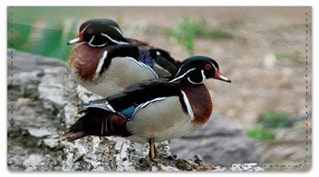 Wood Duck Checkbook Cover
