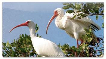 White Ibis Checkbook Cover