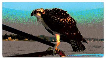 Hawk Checkbook Cover
