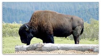 American Bison Checkbook Cover
