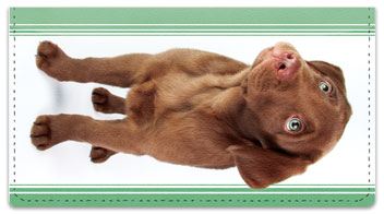 Chocolate Lab Pup Checkbook Covers