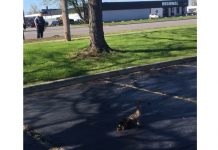 Ducklings were reunited with their mom Monday morning along Walden Avenue. (Submitted)
