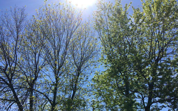 Cheektowaga Trees (Jim Herr/Cheektowaga Chronicle)