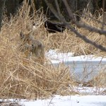 Coyote_labagh_jan_2013_by_mf_web