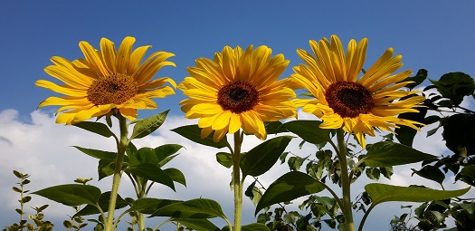 3-e-sunflowers