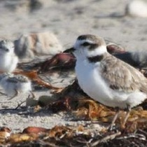 Snowy Plover Docent and Intern Program