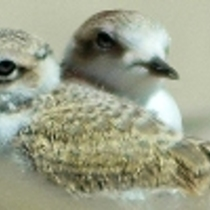 Snowy Plover Docent Training