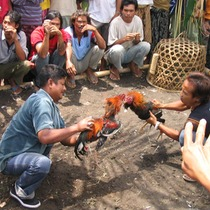 Sacred blood; cockfighting in Bali