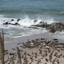 Seal Rookery in Carpinteria