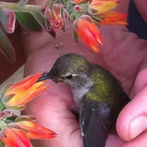 Mobile Post: Nursing a Hummingbird (photos)